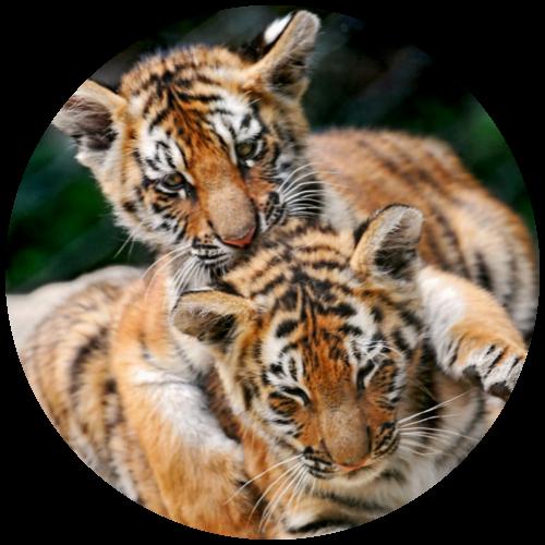 photo tigre