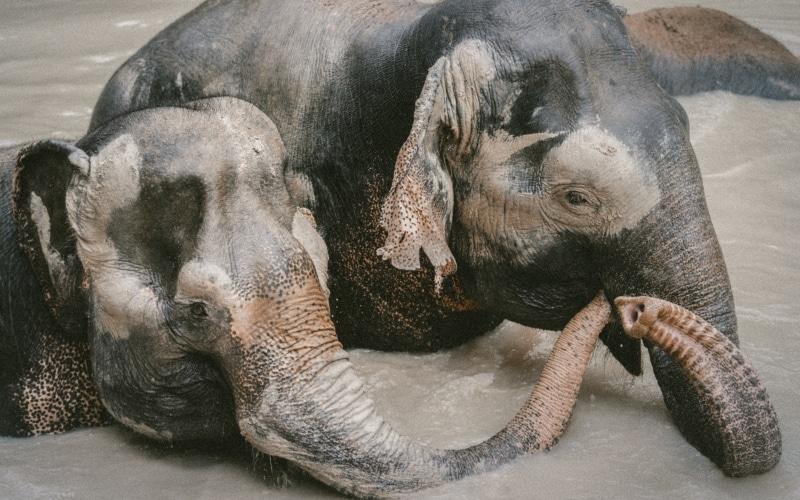 Les sanctuaires d'éléphants en Thaïlande : une solution à long terme ?